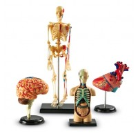 Anatomy Models, Set of 4